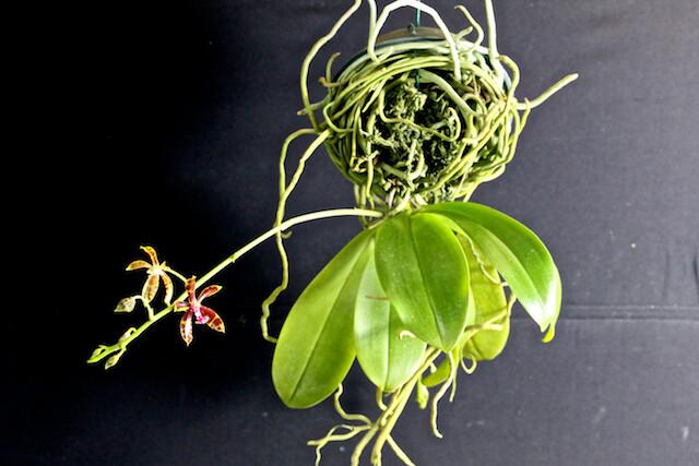 Phalaenopsis mannii x Bastianii 15848676014_0b412813c7_z