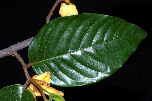 Mitrephora diversifolia DSC_0120