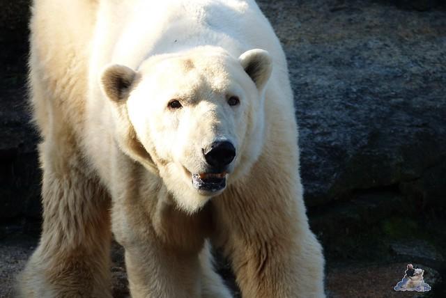 Zoo Berlin Orang Utan Rieke 08.02.2015 19