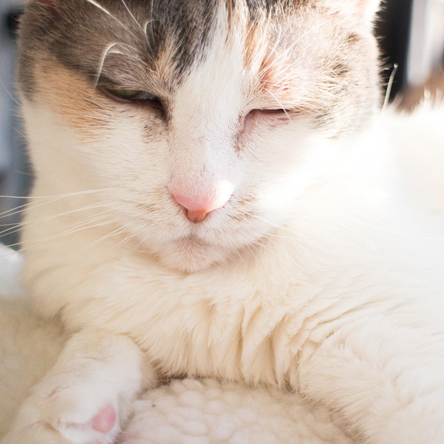 Stopped by the cat adoption center today and fell in love with all of them. Afterwards I cried while waiting for the subway because some of the cats have been there since July. Why aren't these sweet loving cats being adopted? Here's a picture of my FiFi