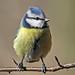 Blue Tit (Parus caeruleus) by victork2013