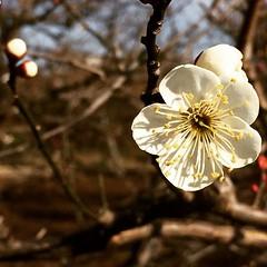 earlier @ suigetsu park  #ume #suigetsupark #ikeda #osaka #japan #水月公園 #池田 #大阪 #梅