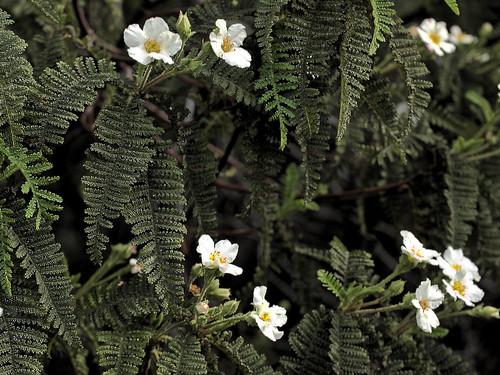 P20150204-0071—Chamaebatia australis—RPBG