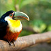 The Mischievous Toucan by Almond Butterscotch