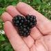 first blackberries by Jef Poskanzer