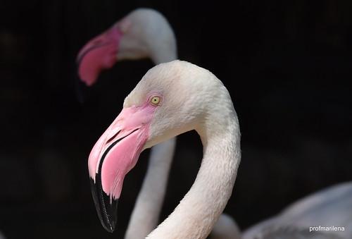 1-DSC_4955 flamingos , Parco faunistico Le Cornelle
