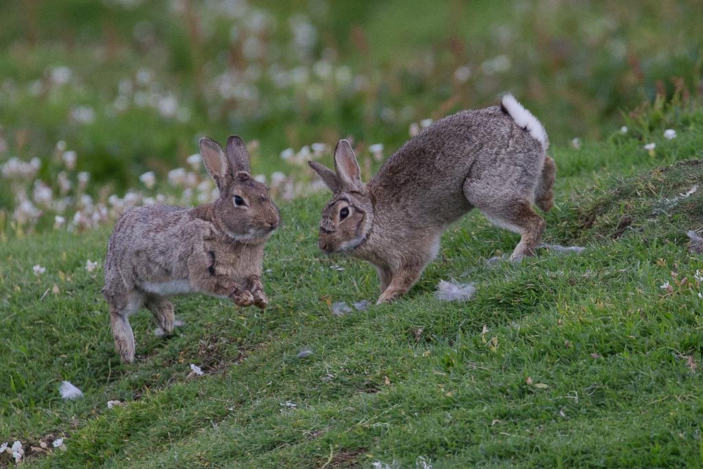 Rabbit Isle of May,Scotland 2016
