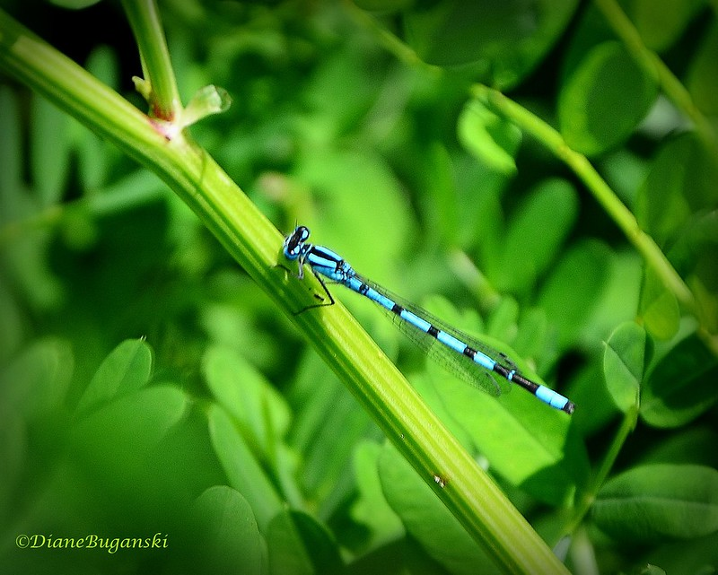 Blue Striped Dragonfly