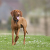 Hungarian Gundog (Vizsla) waiting for my command!