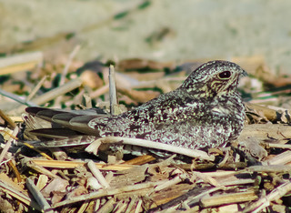Unidentified Nightjar