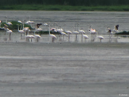 Flamingos in Chennai