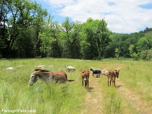 (29-14) Donkeys and sheep together again in the front field; don't the donkeys look thrilled - FarmgirlFare.com