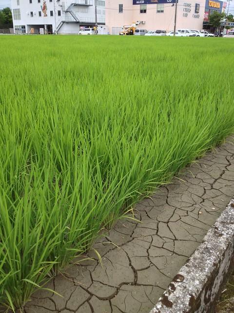 順調に育つTSUTAYA近くの稲 by haruhiko_iyota