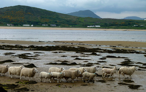 Sheep and seaweed, Donegal