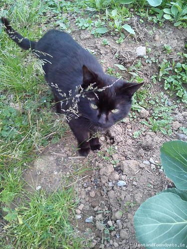 [Surrendered to Rescue] Thu, Jun 27th, 2013 Found Male Cat - Rhode Area, Croghan, Offaly