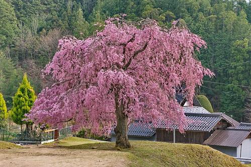 【写真】桜 : 常照皇寺