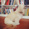 Dogs&Books, man's best friends! #melinda #melindalhasa #lhasaapso #lhasalove #petstagram