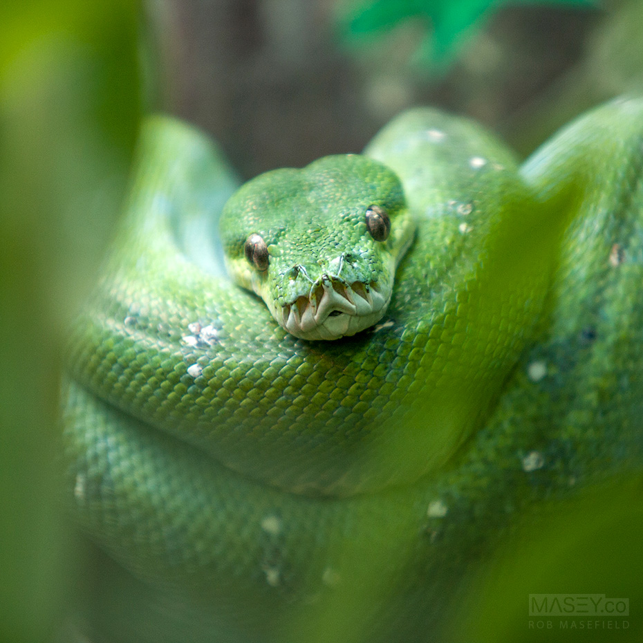 A tightly curled Green Tree Python.