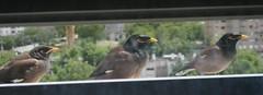 falcon(0.0), wildlife(0.0), animal(1.0), fauna(1.0), common myna(1.0), beak(1.0), bird(1.0),