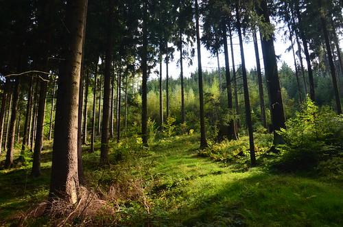 Fichtenwald mit Grün