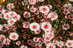 dorotheanthus bellidiformis(0.0), marguerite daisy(0.0), floristry(0.0), ice plant(0.0), chrysanths(0.0), annual plant(1.0), flower(1.0), plant(1.0), daisy(1.0), flora(1.0), daisy(1.0), petal(1.0),