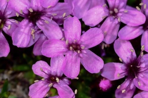 <p><i>Silene acaulis</i>, Caryophyllaceae<br /> Whistlers, Jasper National Park, Alberta, Canada<br /> Nikon D5100, 105 mm f/2.8<br /> July 8, 2012</p>