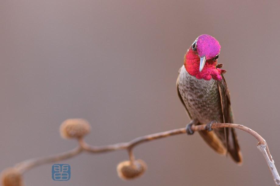 Anna's Hummingbird 111513-2