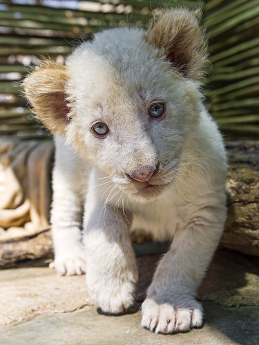 Shy white lion cub coming to me by Tambako the Jaguar