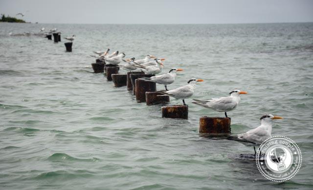 Birds Bocas Del Toro_2