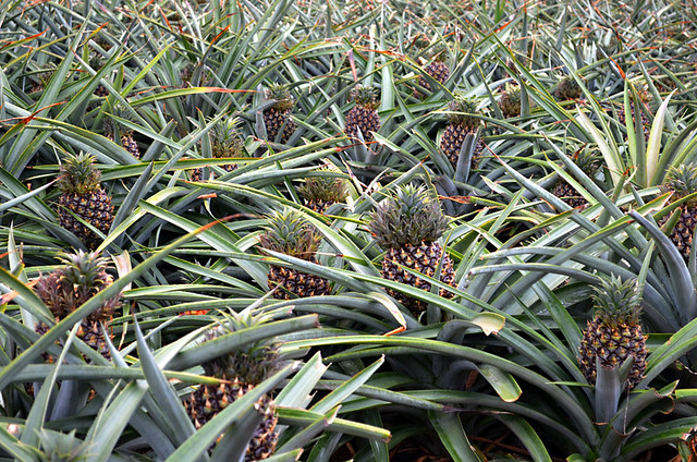 Pineapples, El Hierro