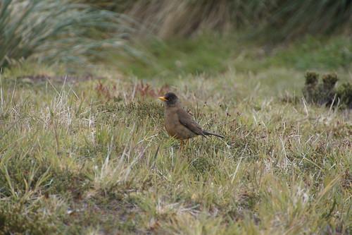 323 Falkland merel