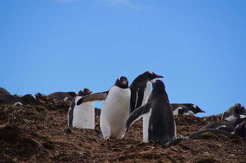 178 Ezelspinguins