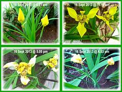 Trimezia steyermarkii (Yellow Walking Iris): short-lived flowers, lasting only a day, Sept 16 2013