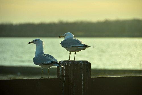 a couple of gulls