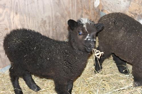 Lambs - Rebel