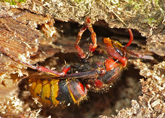 European Hornet (Vespa crabro) queen hibernating in dead wood