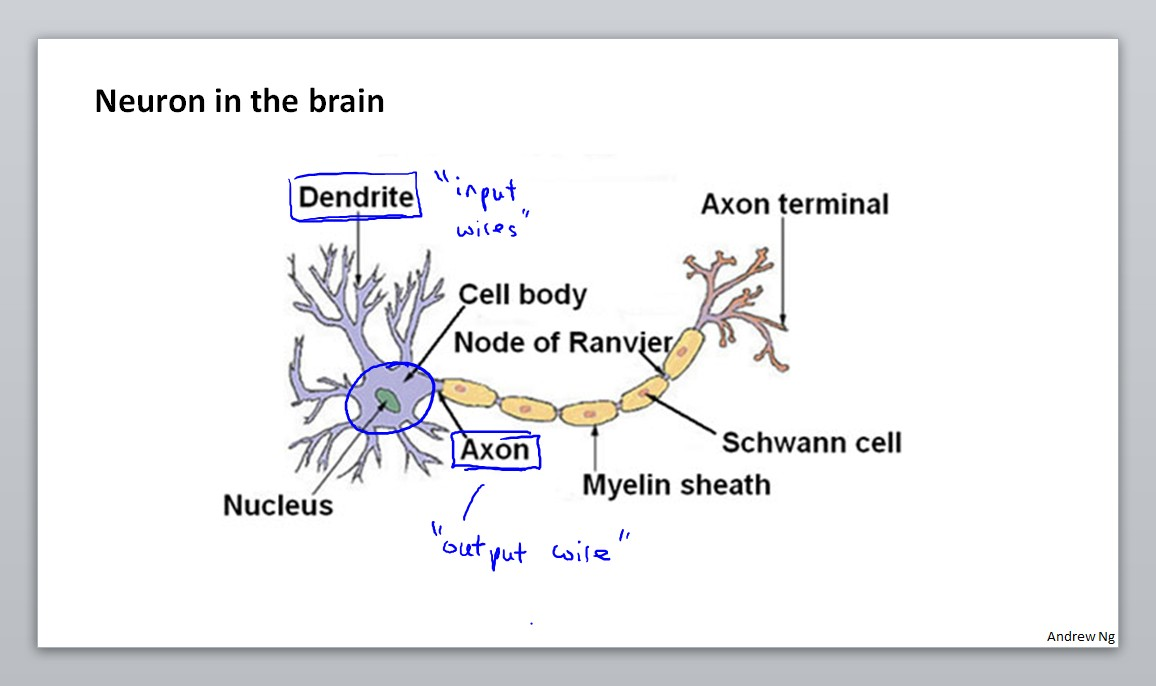 Neuron in the brain