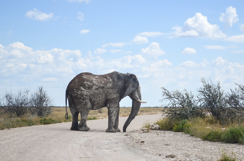 Elephant on the road, Etosha NP