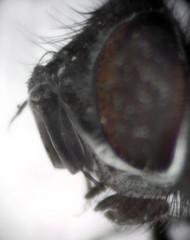 Eumea mitis (profile)