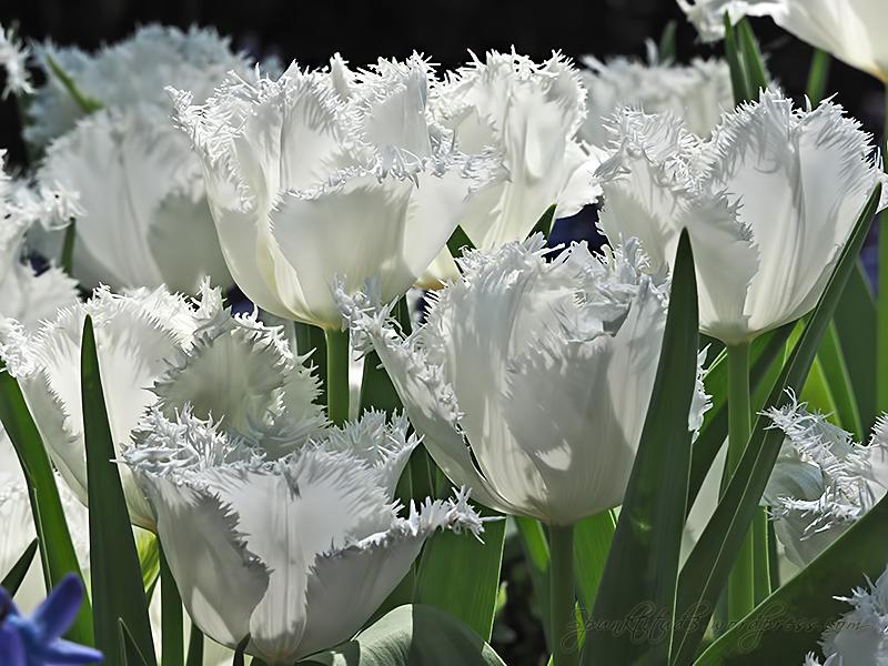Tulipmania 2014