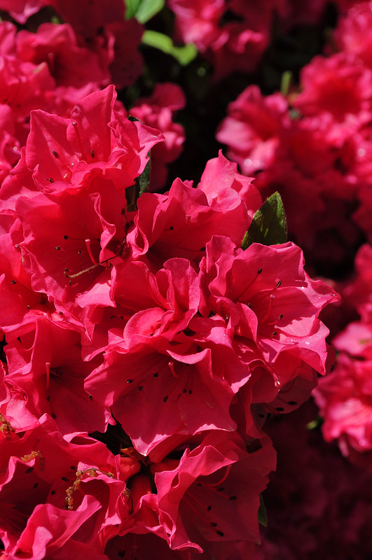 Rhododendron 'Rosy Frills' (7)