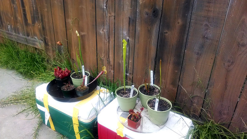 Pitcher plants growing outside.