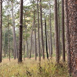 old growth longleaf pine forest