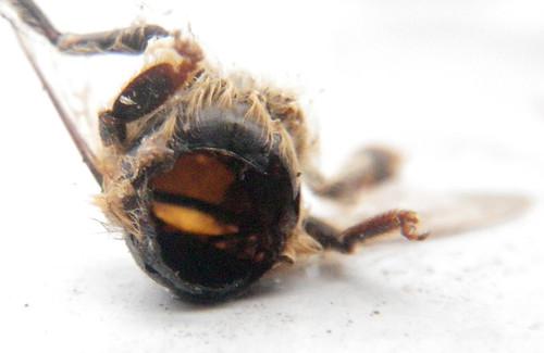 Shrew eaten bee carcass