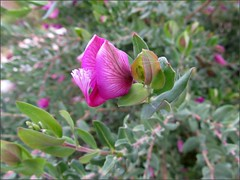 Sweet pea bush