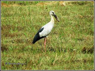4920 - openbill stork