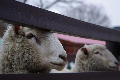羊。圖片來源:Otota DANA