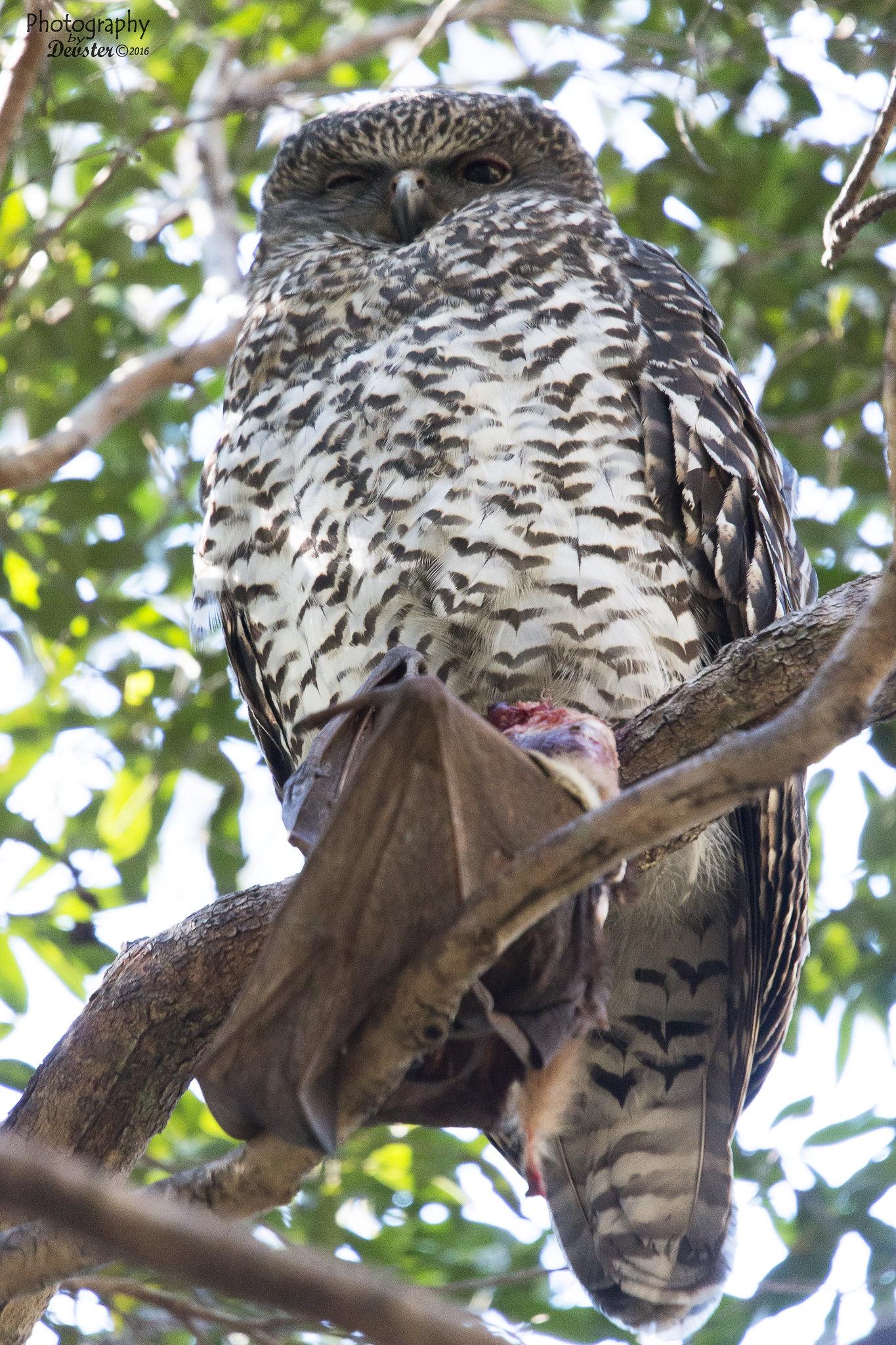powerful owl with flying fox