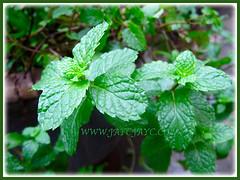 Potted Mentha spicata (Garden Mint, Common Mint, Spearmint, English Mint) thriving well at our backyard, Nov 27 2015