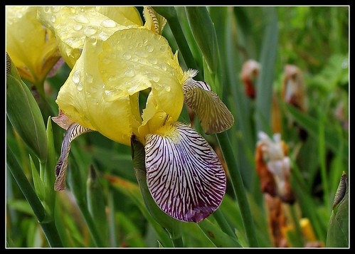 Iris 'Gracchus' - Thomas Ware 1884 26831316983_1559f8bd43
